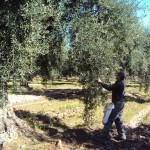 olivo2