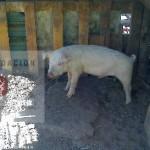 porcinos_idr_1